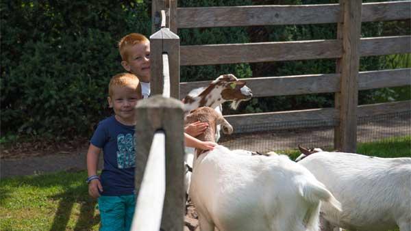 't Hout - kids-campings - geitjes in de dierenweide